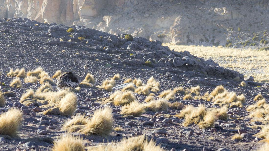 Struisvogel in Reserva Nacional de Fauna Andina Eduardo Abaroa