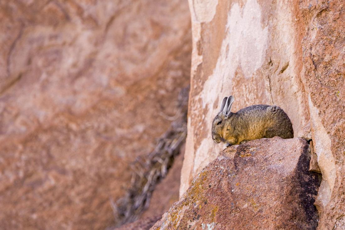 Een viscacha op een rots bij Laguna Negra in Bolivia.