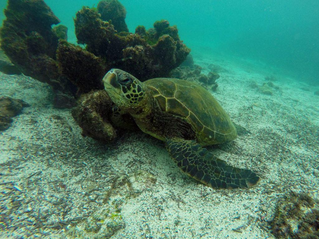 Pinzon zeeschildpad