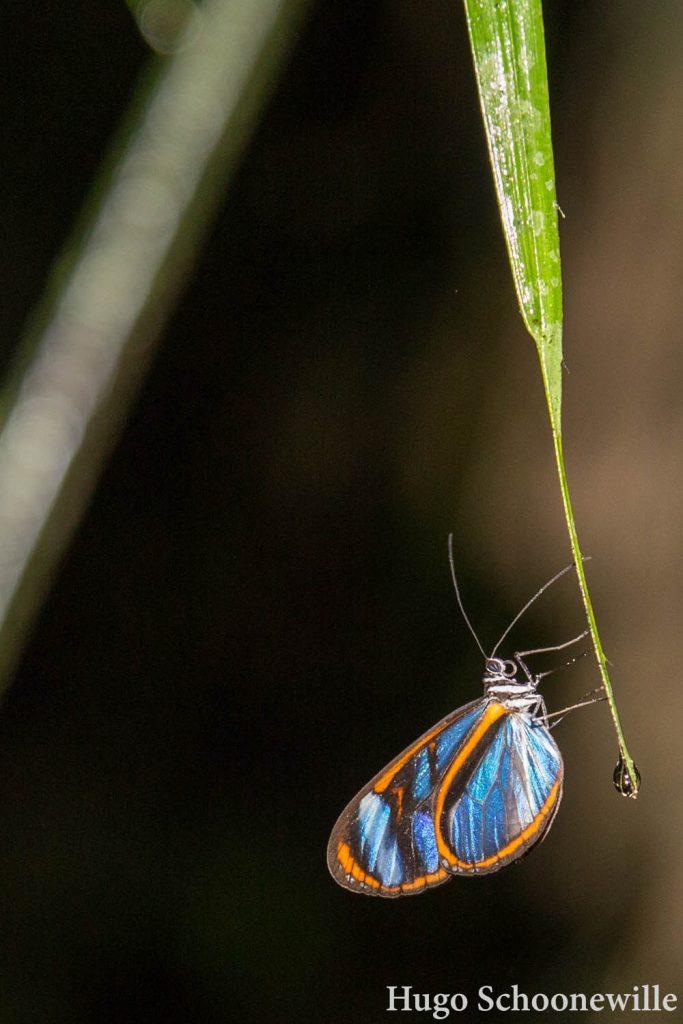 Vlinder Manu