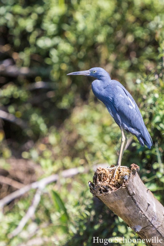 Kleine blauwe reiger