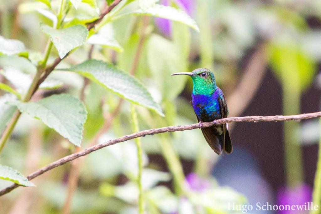 Kolibries Manu