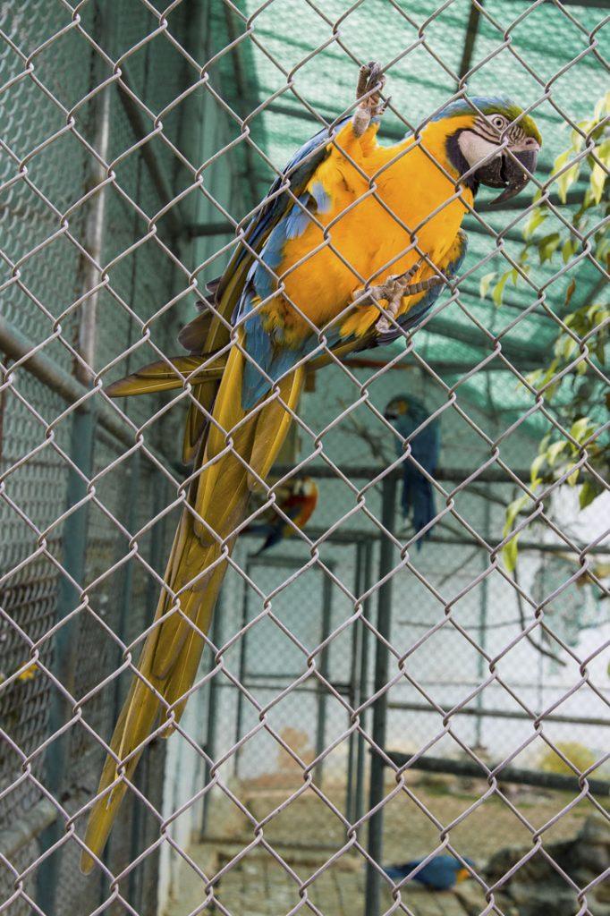 Een geel met blauwe ara in een kooi in de dierentuin in Loja