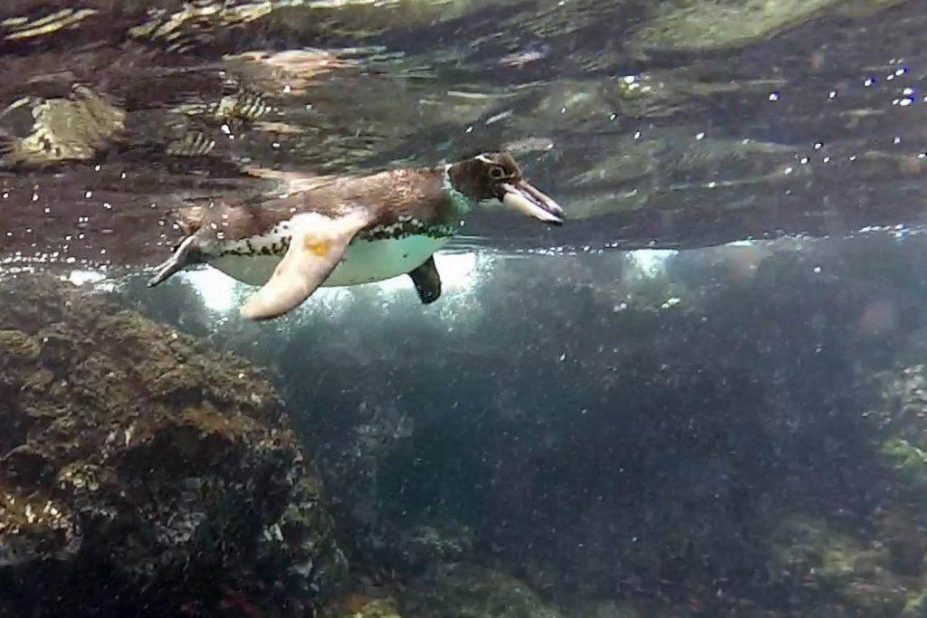 Pinguïn Bartolome