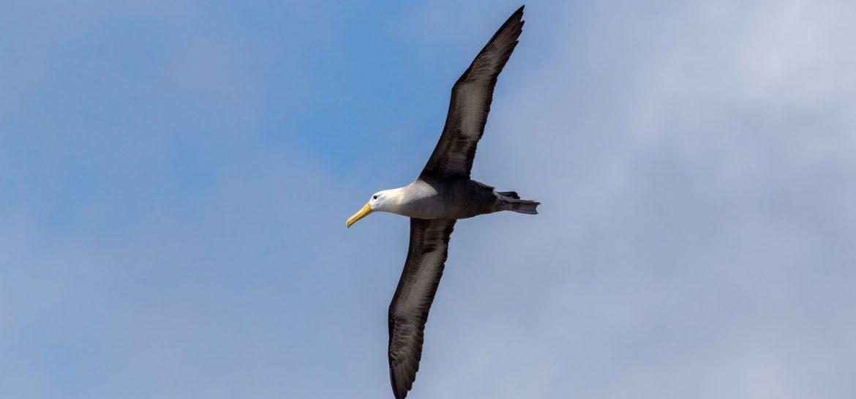 Albatros Española