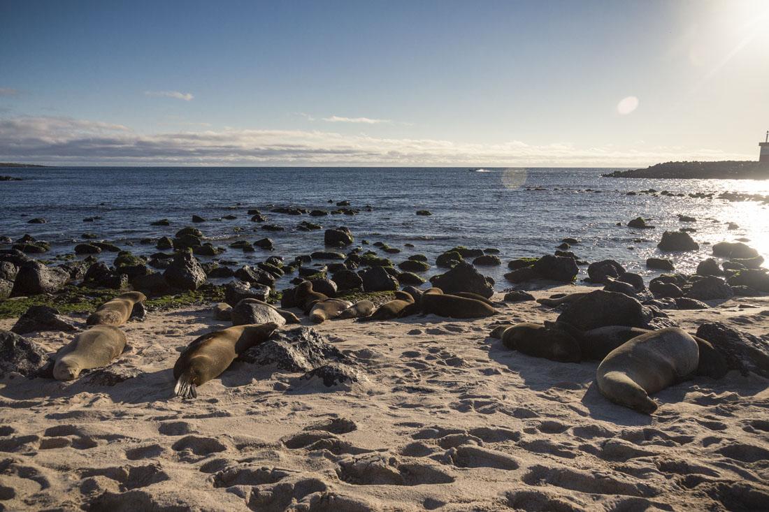 Zeeleeuwen slapen op het strand van Playa Punta Carola