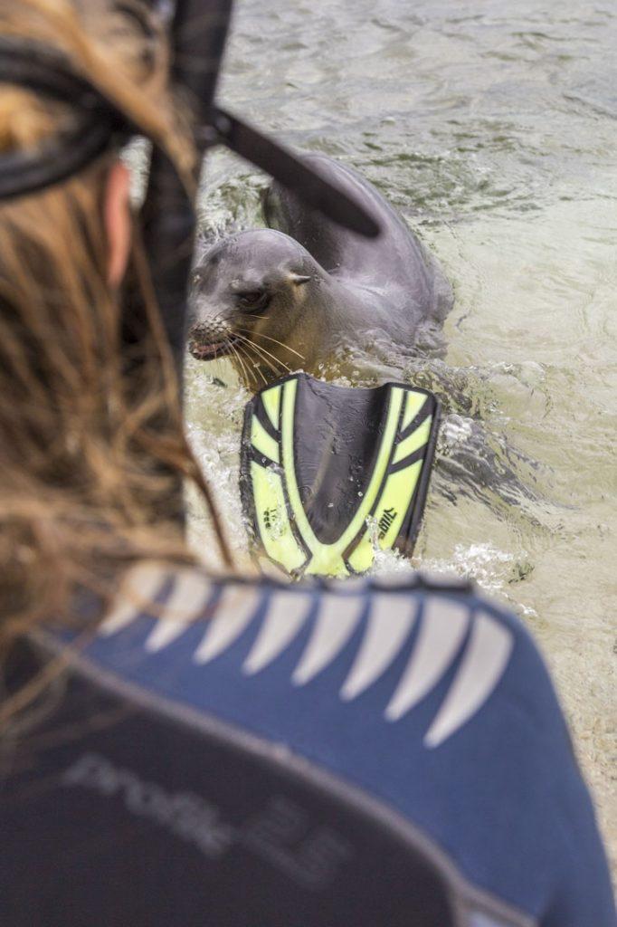 Jonge zeeleeuw bijt in een flipper van Manouk op het strand van Mosquera