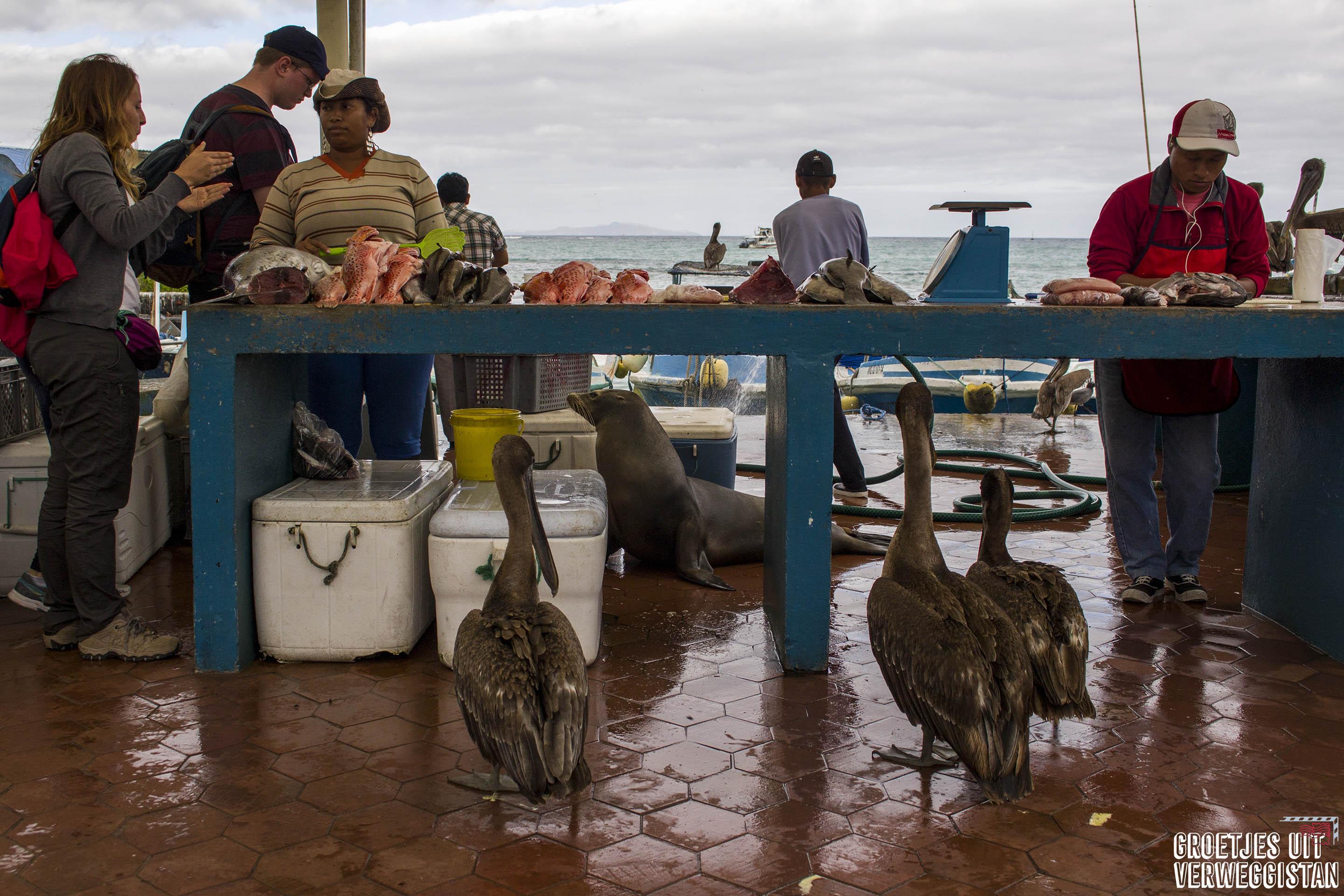 Twee pelikanen en een zeeleeuw wachten op een hapje vis op de vismarkt in Puerto Ayora.