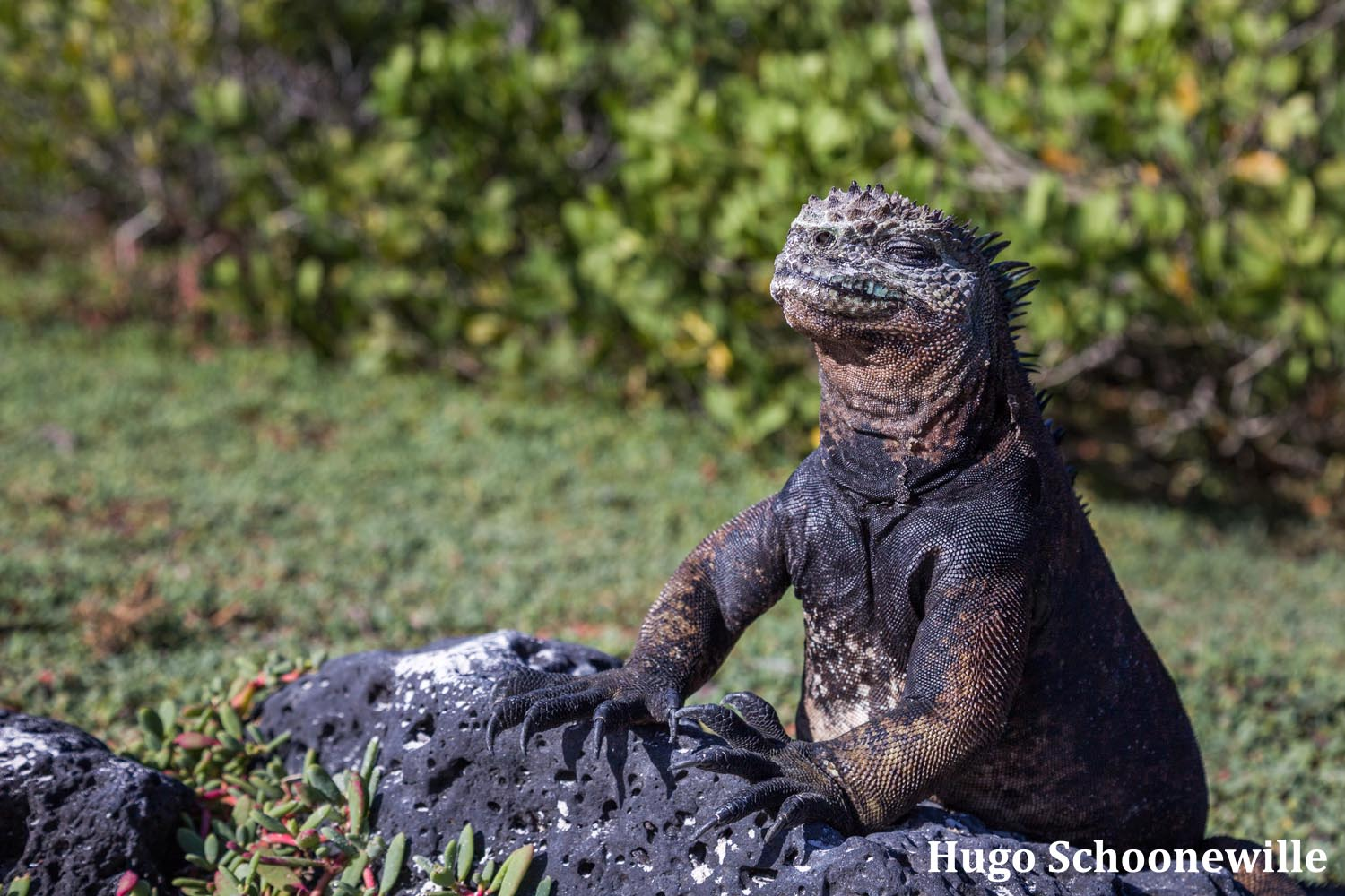 Marine iguana enjoying the sun on the Galápagos