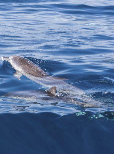 Gevlekte dolfijnen in de oceaan voor de kust van Tenerife.