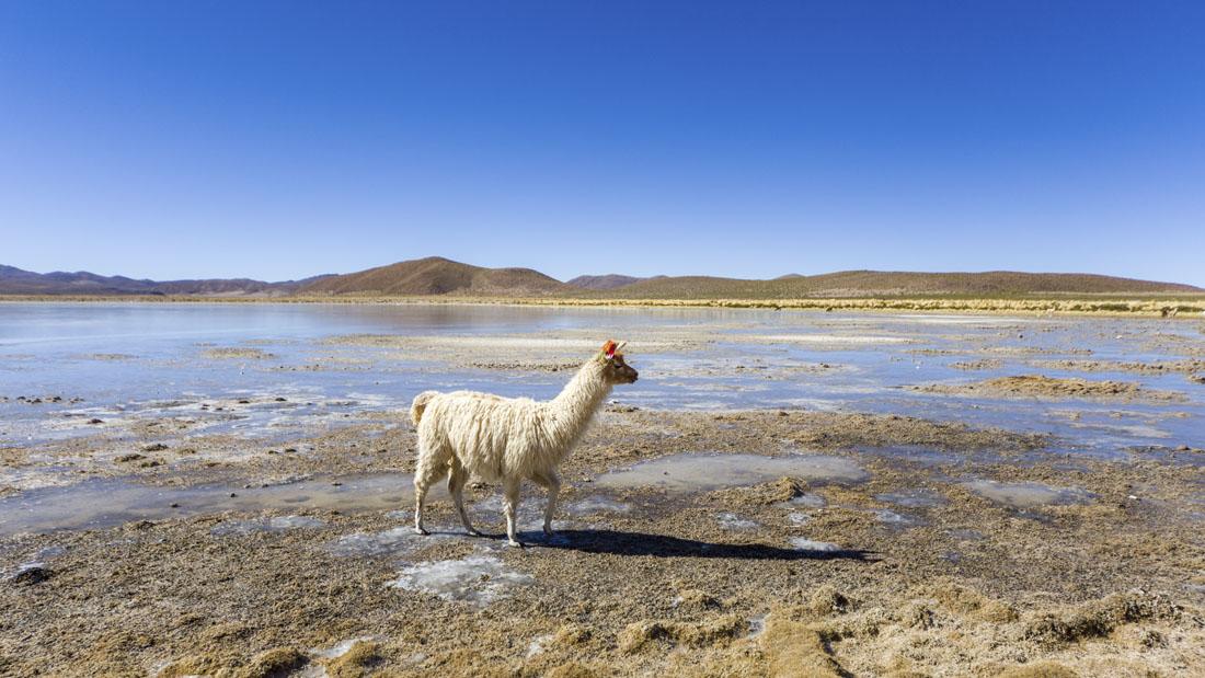 Rondreis Bolivia in 3 weken: alpaca op een meer in Bolivia tijdens de jeeptour over de zoutvlakte Salar de Uyuni.