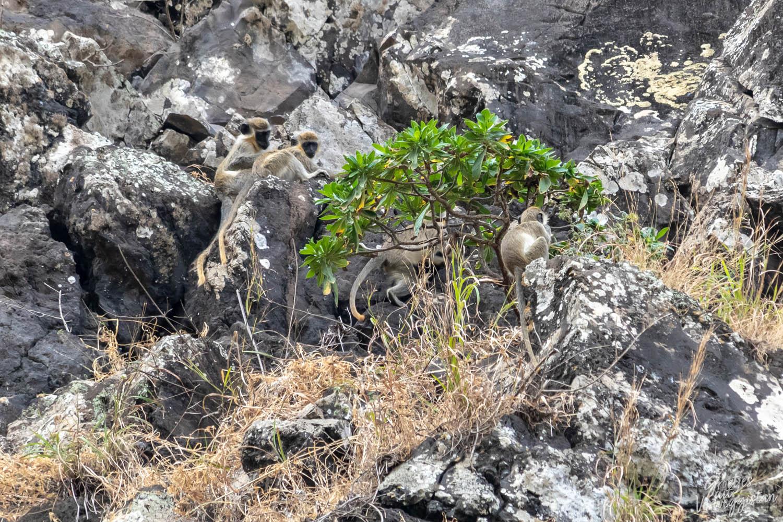 Vier apen die achter en naast een klein boompje zitten op een rots op het eiland Santiago.