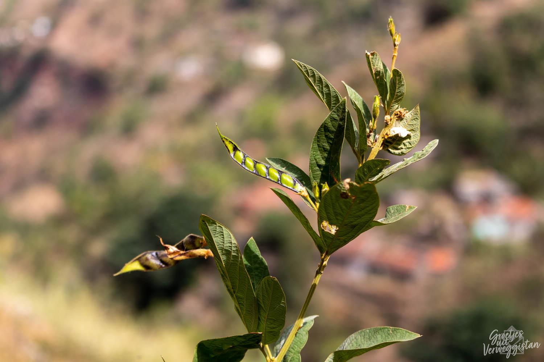 Bonen aan een plant op Santiago in Kaapverdië.
