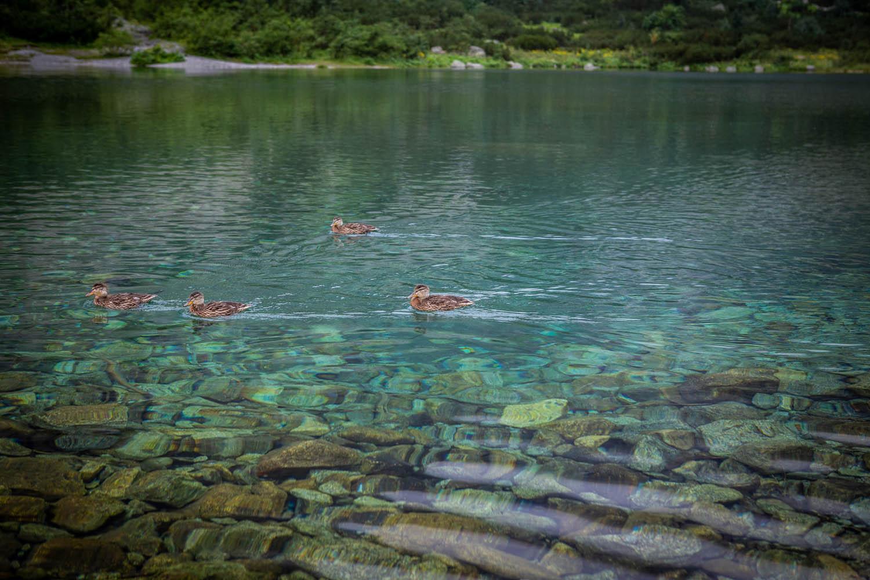 Eenden zwemmend in het doorzichtige heldere water van het groene meer Zelene pleso in Slowakije.