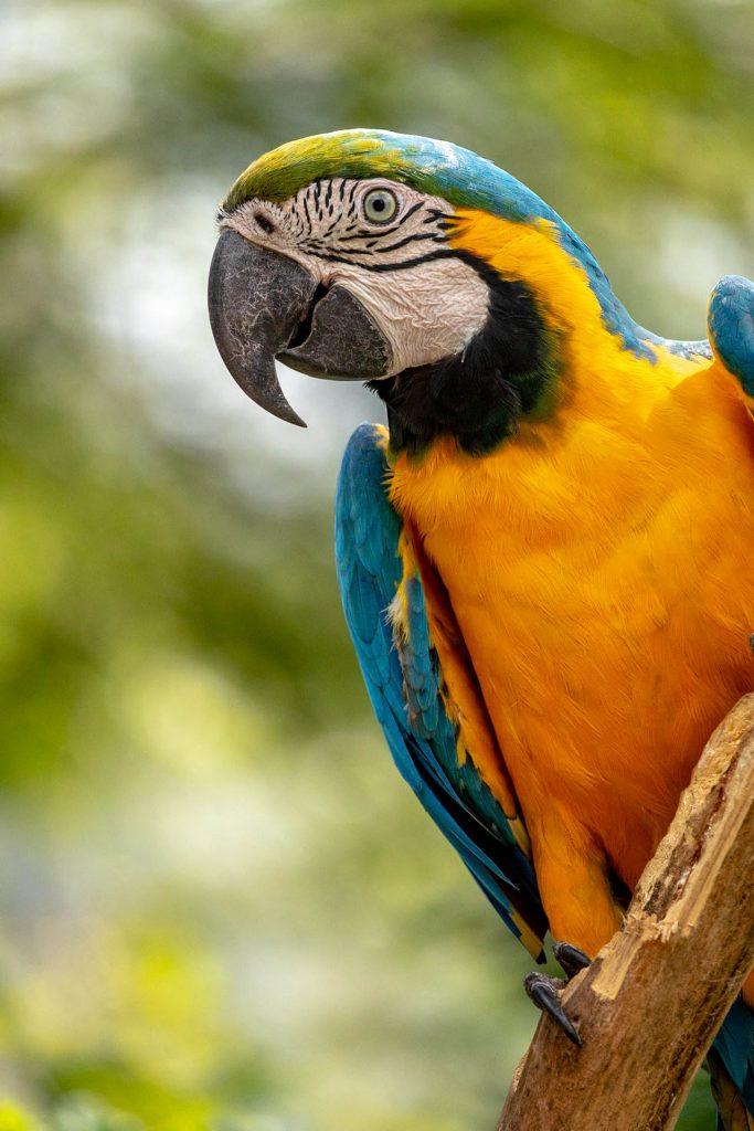 Geel met blauwe ara op een tak in Peru