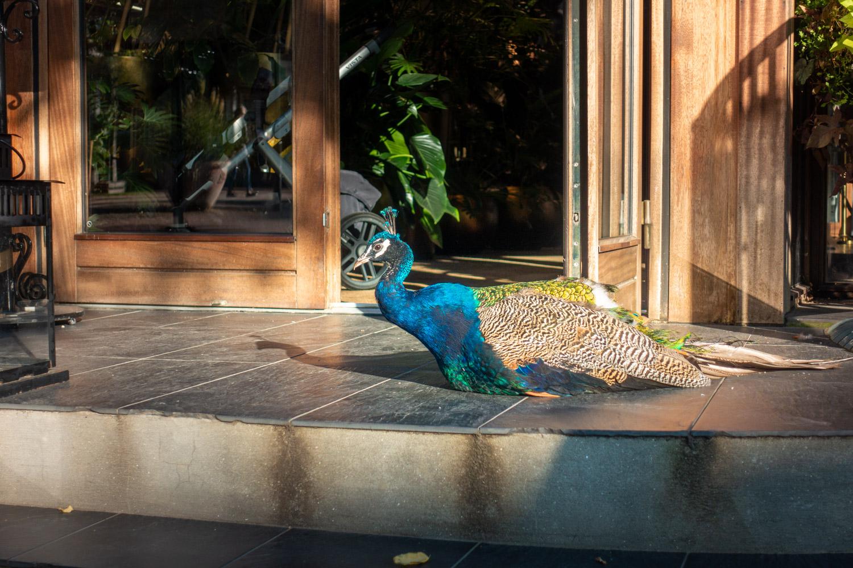Blauwe pauw ligt voor de deur van restaurant Cakenhagen in Tivoli