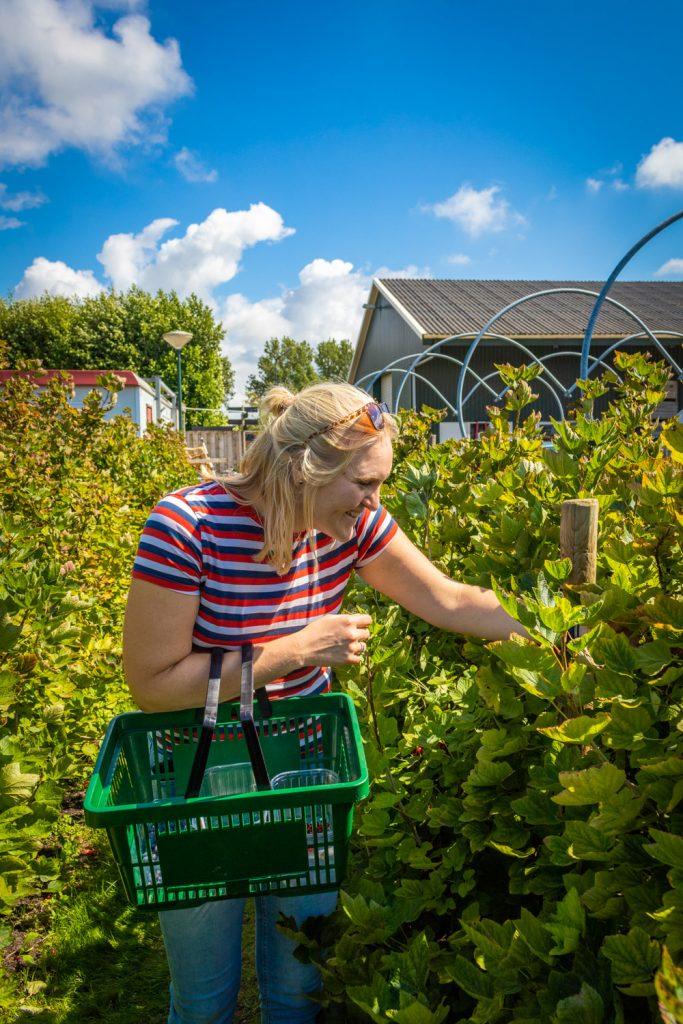 Kelly plukt rode besjes bij plukboerderij Van Reeuwijk