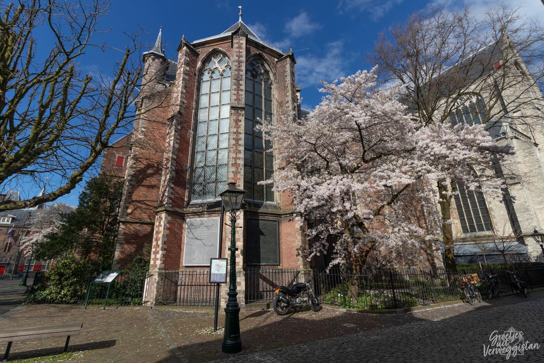 Boom met kersenbloesem naast de Pieterskerk in Leiden
