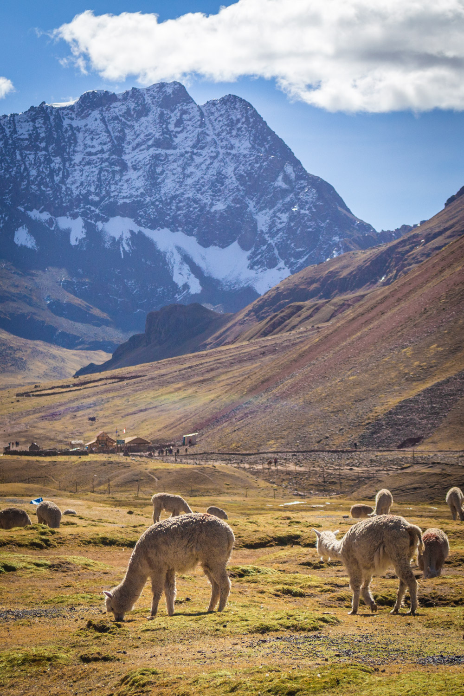Alpaca's grazen voor een hoge berg in de Andes