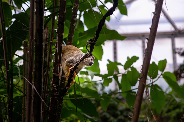 Een aapje in de bomen in de dierentuin van Leipzig