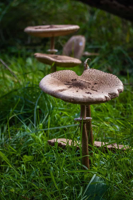 Bruine paddenstoelen op een rijtje in het groene gras in de Amsterdamse Waterleidingduinen