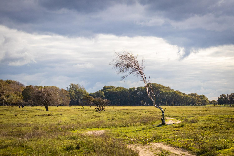Bijzondere boom op een grasvlakte in de Amsterdamse Waterleidingduinen