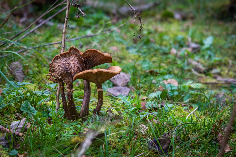 Bruine paddenstoelen in het gras