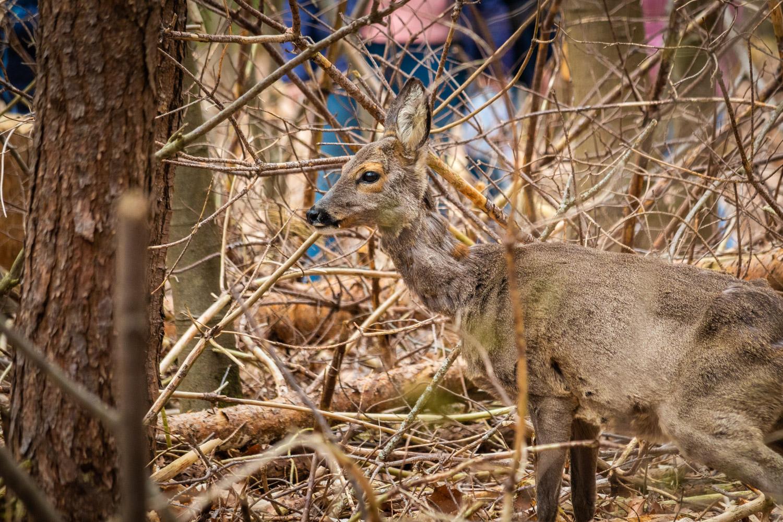 Een hert in het bos van de Sallandse Heuvelrug